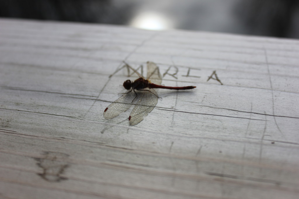 It's still warm enough here that we have a few dragonflies hanging around. Apparently, this one is named Maria.